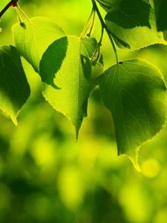 Green Leaves wallpaper for Windows Phone