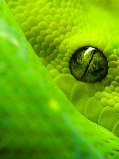 Green Snake wallpaper for Windows Phone